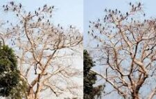 In Ranishankail, Shimul tree is the refuge of Pankauri birds