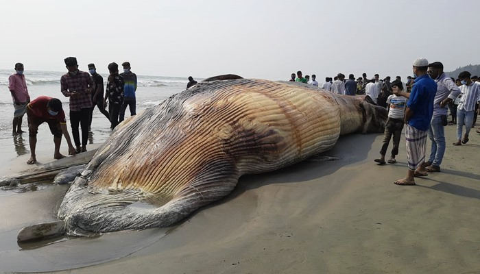 The dead huge whale has floated again